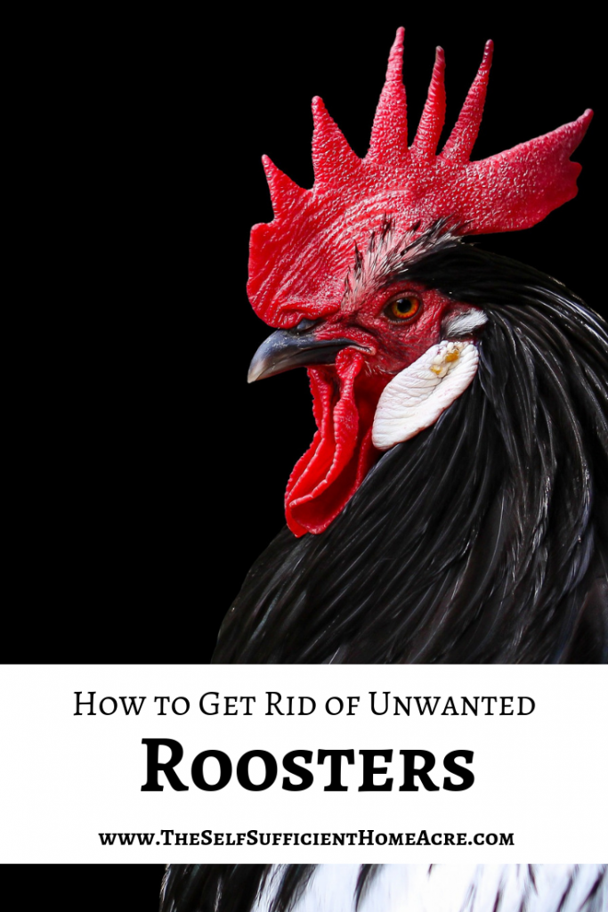 How to Get Rid of Unwanted Roosters - The Self Sufficient