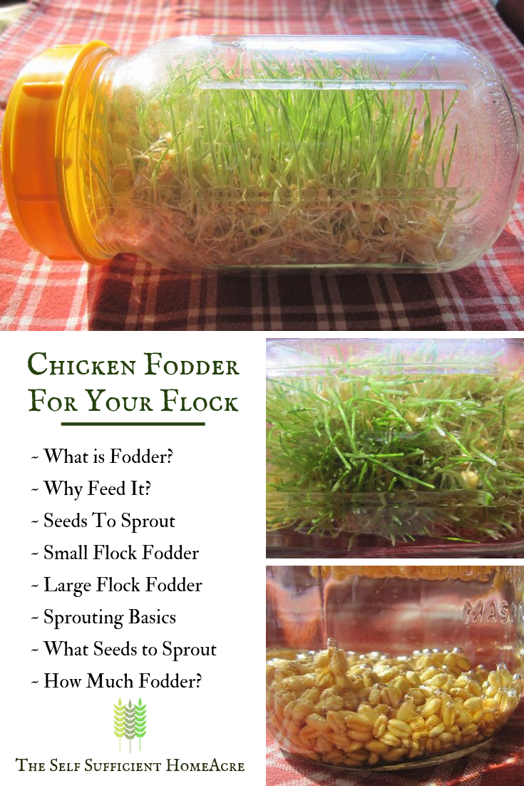 How to Grow Chicken Fodder for Your Flock