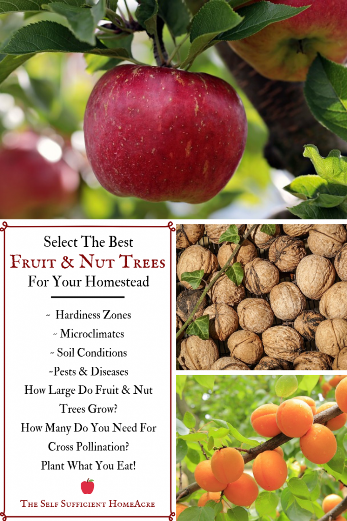 Check out this in-depth guide to help you Select the Best Fruit and Nut Trees for Your Homestead... What USDA zone is your #homestead? Do you have microclimates? What fruits and nuts do you like? What trees will fit? Cross pollination considerations. #FruitTrees #NutTrees for your #SmallFarm