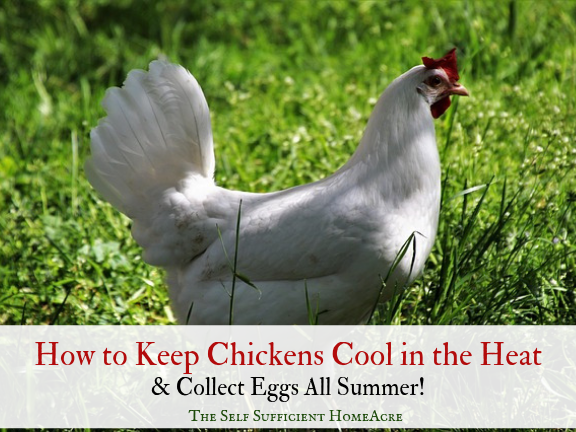How to Keep Chickens Cool in the Heat and Collect Eggs All Summer