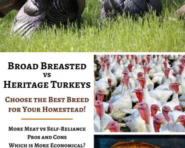 Broad Breasted vs Heritage…What's The Best Turkey For Your Homestead?