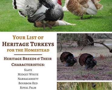 Your List of Heritage Turkey Breeds For the Homestead