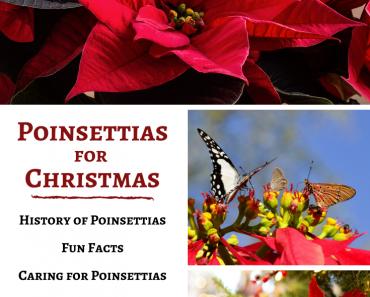 Poinsettias for Christmas!
