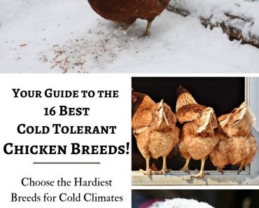 How to Choose the Best Cold Tolerant Chickens