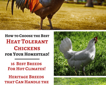 Heat Tolerant Chickens