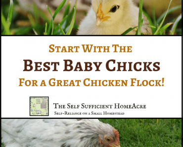 How to Start With the Best Baby Chicks