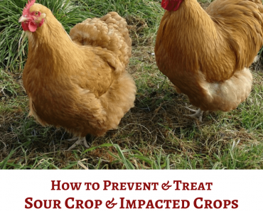How to Prevent and Treat Sour Crop and Impacted Crops in Chickens