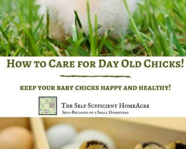 How to Care for Day Old Chicks