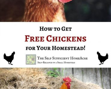 How to Get Free Chickens for Your Homestead