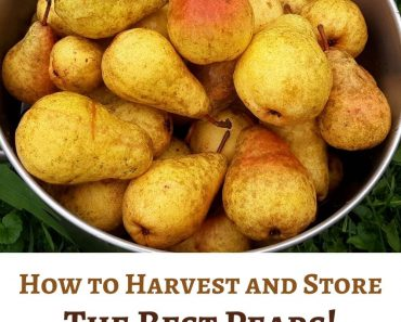 How to Harvest and Store the Best Pears